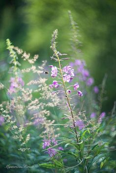 Purple flowers photo download Wild Flower by MysteriousForests