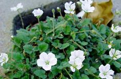 Erodium reichardii 'Alba'   White Alpine Geranium  Super cute, tiny mound of deep green oval leaves which will create great interest in a rock garden or as a pocket planting. Spring brings this little charmer to life with abundant, large white blooms which are much bigger than the average erodium flower.  Great plant for containers, entryways or to compliment any border planting.
