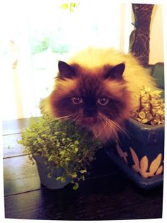 Goma eating baby's tears plant