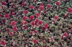 Image result for sedum red dragon