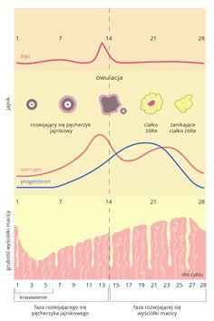 Ilustracja 3. Cykl miesiączkowy kobiety