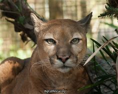Big Cat Updates What is the Call of the Wild? The Call of the Wild is a call to leave . Funny Cats, Funny Animals, Wild Animals, Big Cat Rescue, Mountain Lion, Here Kitty Kitty, Big Cats, Make You Smile, Pet Birds