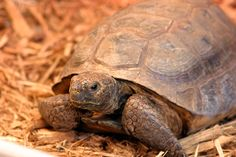 Georgia's state reptile, the gopher tortoise.