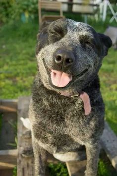 Cattle Dogs laugh at their own jokes Aussie Cattle Dog, Austrailian Cattle Dog, Blue Heelers, Cute Animal Pictures, Dog Pictures, I Love Dogs, Cute Dogs, Pitbull, Herding Dogs