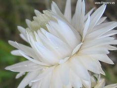 White straw flower (Ammobium)