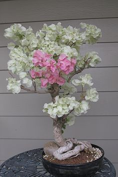 One of my grandpas Bonsai Trees. Bougainvillea bonsai tree estimated at 40 years old, nature somehow has made it two colors, which makes it look amazing.