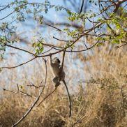 African Wild. Sabi Sand. Kruger National Park. Monkey