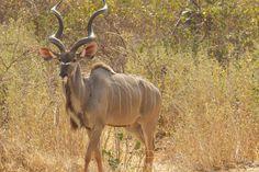 Image result for kudu