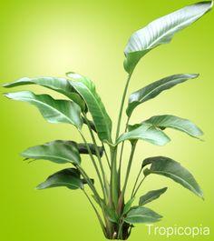 Large, green, paddle-shaped Bird of Paradise Plant