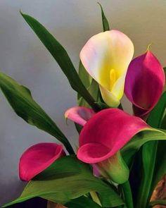 Beautiful Cali lilies