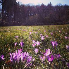 Le spettacolari #fioriture di #Santallago Monte Pisano