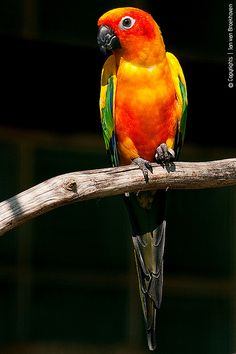 Sun Conure (Aratinga solstitialis), aka Sun Parakeet - a medium-sized brightly colored parrot native to northeastern South America.