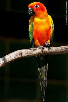 Sun Parakeet o conuro solar como comunmente se le conoce hermosisimos pero elevadisimos costos sin mencionar que en méxico no se puede adquirir de manera legal este tipo de ave...