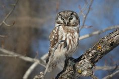 Boreal Owl by Russ Ergen on Capture Minnesota // An irruption of these small owls is happening this year with many showing up where they are not normally seen such as the North Shore and Northern MN.  This photo was taken at Sax Zim bog and is featured as the photo of the week on Birdwatchingdaily.com for the week of 3/4/13.