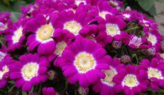 Cineraria - Producción propia de plantas de flor de Vivercid. (Valencia)