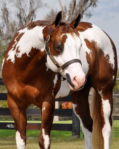 Sorrel overo stallion named 'Never Compromise'