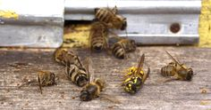 File:Wasp attack.jpg  This file is licensed under the Creative Commons Attribution-Share Alike 3.0 Unported license.