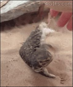 And you could teach it tricks 16 Reasons Why We Want A Pet Dragon Animals And Pets, Baby Animals, Funny Animals, Cute Animals, Bearded Dragon Funny, Bearded Dragon Diet, Cute Lizard, Cute Reptiles, Pet Dragon