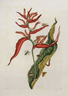 Maria Sibylla Merian -  Red Ginger Plant with Bee - 1719. From Metamorphasibus Insectorum Surinamensis