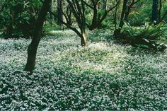7 Herbs that Grow in Shade: Sweet Woodruff