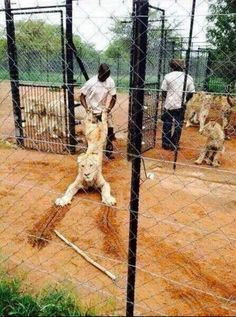 These are lions raised to be killed by ignorant rich Americans, like Kendall Jones.