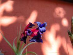 Flor de Tillandsia