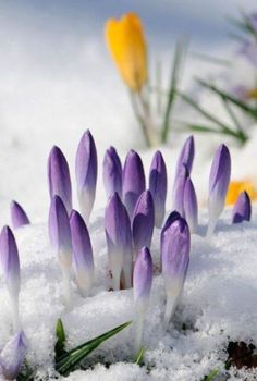 Crocuses pushing through the snow