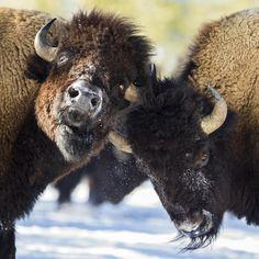Buffalo--Classic Woodie : Photo