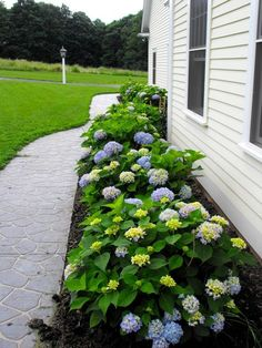 Sketch of How to Sweet Your Home Garden with Endless Summer Hydrangeas