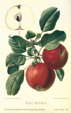 Fruit Botanical Antique Print Roter Astrakan Apple 1894 | eBay
