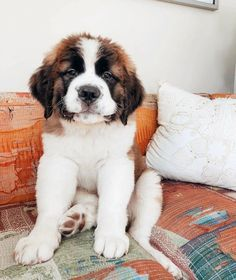 Doggos dr spock baby and child care - Baby Care Chien Saint Bernard, St Bernard Puppy, Cute Dogs And Puppies, I Love Dogs, Doggies, Cute Baby Animals, Animals And Pets, Cute Creatures, Shiba Inu