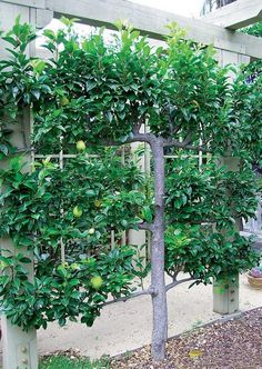Pyrus 'Kieffer' espaliered in the rear garden; the pears need little winter chill and are blight resistant