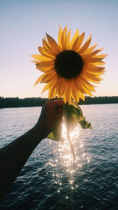 This is why I trust sunflowers are beautiful than *roses* - Sunflower - Phone Backgrounds, Wallpaper Backgrounds, Iphone Wallpaper, Sunflower Pictures, Sunflower Quotes, Sunflower Wallpaper, Jolie Photo, Pretty Pictures, Aesthetic Pictures