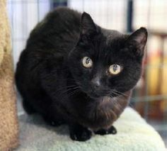 Animal Friends Rescue Project Pacific Grove, CA. Sweet petite 8-10 yr black cat ready for her luck to change. Lost her home when her owner became ill & wandered a sr housing complex in Carmel Valley until being rescued. <3 JET is a very gentle & affectionate kitty who just wants a quiet home & a warm lap. Fine w/ other friendly cats!