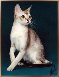 The Fugly Feline Finals - #singapura - See more stunning picture of Singapura Cat Breeds at Catsincare.com!