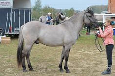 Blagovest. Vyatka horse: Duns and Grullo duns are common among this rare breed.