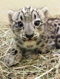 Snow leopard | Tumblr