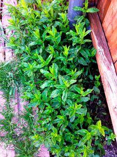mint leaves mint plant