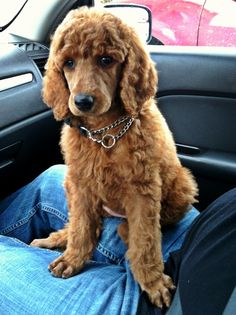 Red standard poodle puppy. Don't laugh..I have allergies.