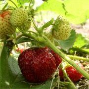 mieze schindler erdbeere