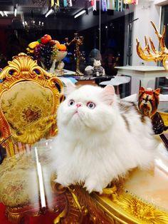 Persian cat at Grooming Space Pet Hotel & Salon