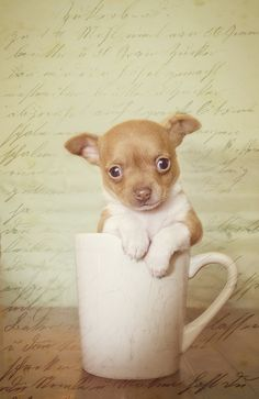 chihuahua, puppy, benzel, photography, baby, coffee