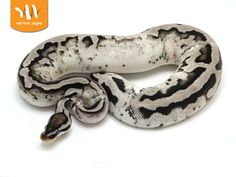 Axanthic Pastel Pied - Markus Jayne Line - Morph List - World of Ball Pythons