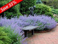 Nepeta Walker's Low - Groundcover that does well with Knockout Roses