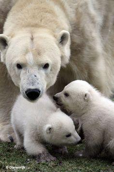 Polar bear mom and her babies