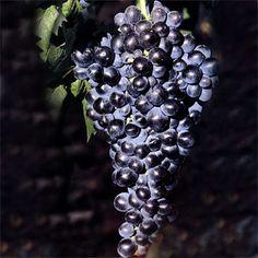 Uma casta portuguesa, com certeza... e muito particular.  Uma curiosidade: A OIV (Organização Internacional da Vinha e do Vinho) reconhece essa uva com uma grafia diferente da que costumamos encontrar, Tinta Barocca.