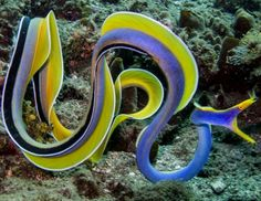 The Blue Ribbon Eel