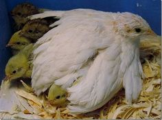 Chinese Painted Quail ( Button Quail ) in North Sea, New York ...