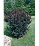 Monrovia's Velvet Cloak Smoke Tree details and information. Learn more about Monrovia plants and best practices for best possible plant performance. Dwarf Shrubs, Smoke Tree, Plant Catalogs, Season Colors, Cloak, Red Purple, Landscaping, Velvet, Plants