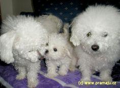 Bessy 2/2012b - Bichon Bolognese / Boloňský psík